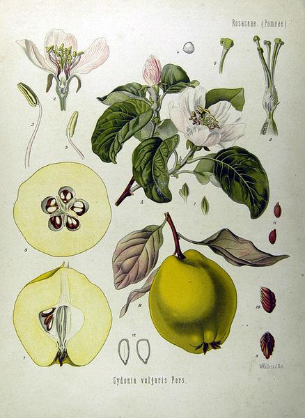 438px-Cydonia_oblonga_-_Köhler–s_Medizinal-Pflanzen-049