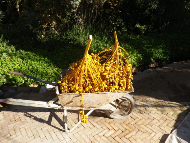 Newly harvested dates, Morocco