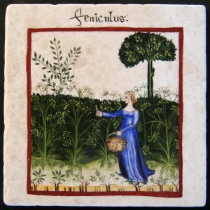 fennel (feniculum)