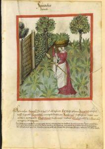Tacuinum sanitatis. Spinach