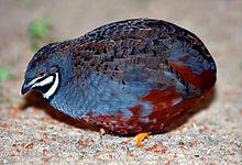 coturnix, king quail