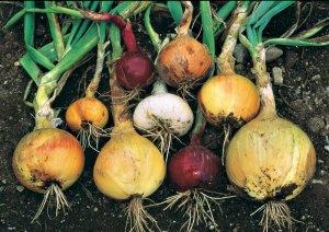 kg23-growing-onions-01
