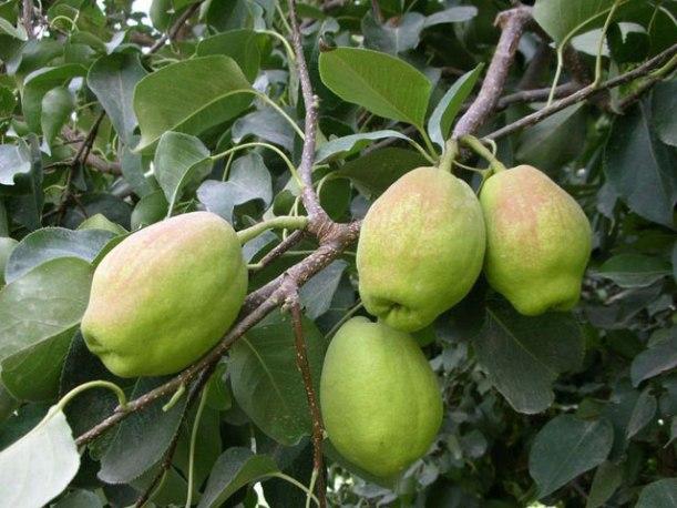 Bergamot pear
