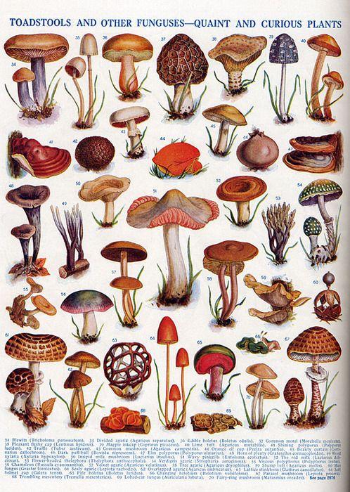 eccd22590a8e623ffac36f65e3ba332e--mushroom-fungi-mushroom-art